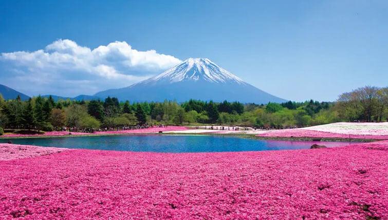 Mt Fuji Shibazakura Festival